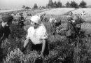 Серп і молот – смерть і голод. Як комуністи заганяли закарпатців у колгоспи